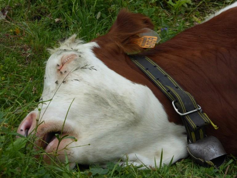 Togo / Manifestations:  l'incroyable histoire d'une vache qui continue d'alimenter la polémique…