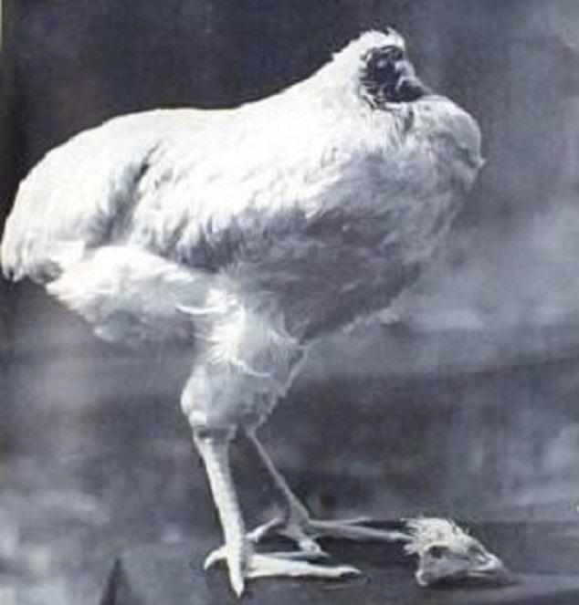 Insolite: un poulet sans tête survit pendant une semaine