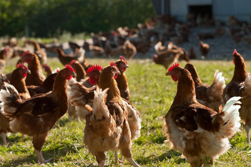 La Grippe aviaire de nouveau signalée au Togo, un aviculteur a perdu 3.629 volailles