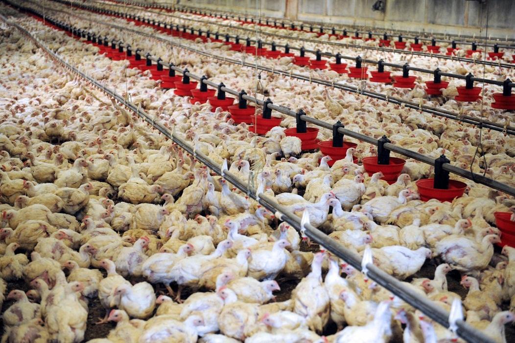 Grippe aviaire : Le gouvernement aide un aviculteur à se relever