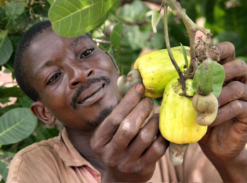 Togo / Améliorer la qualité des productions de l'anacarde et du karité pour accroitre les recettes