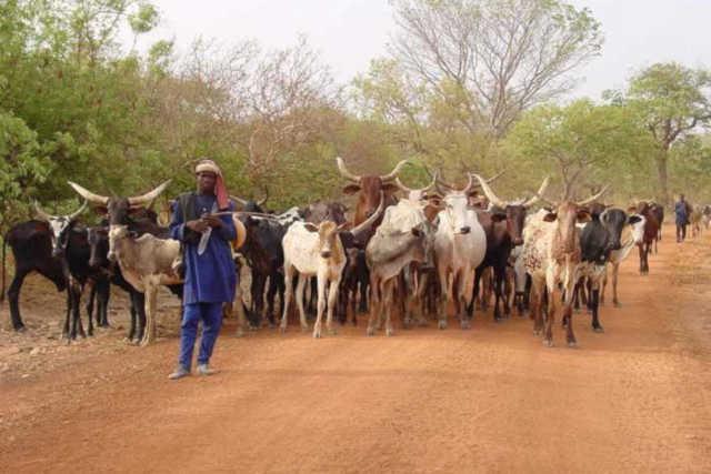 Togo, Transhumance : Le village Bado manifeste contre les bouviers
