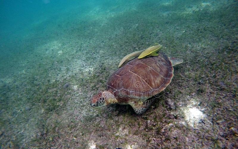 De la nécessité de sauver les tortues marines de l'extinction