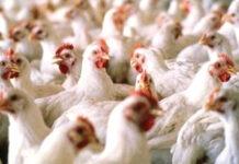 Grippe aviaire : le Togo interdit l'importation de volailles en provenance de 06 pays