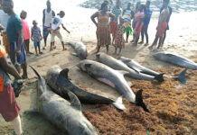 Vente de morceaux de poissons échoués au Ghana : le ministre de l'agriculture alerte