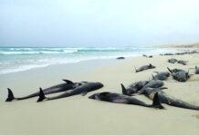 Ne consommez pas les poissons morts échoués sur les plages !
